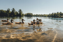 Ducks In A Lake During Summer Vacation