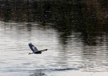 Great Blue Heron (Ardea Herodias)  Gliding Above Lake