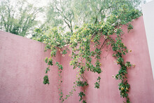 Yellow Flowers And Vine On Pink Wall