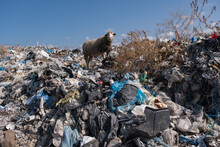 Sheep In The Midst Of A Landfill