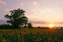 Sunset Over Sunflower Fields