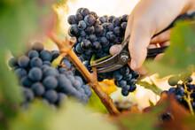 Close Up Of Unrecognizable Farmer Harvesting Grapes