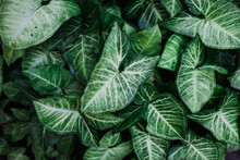 Close Up Of Green And White Tropical Leaves