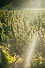 California Cannabis Farm