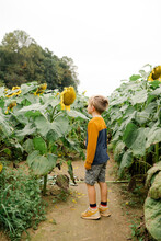 Little Boy Looking At A Giant Sunflower