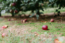 Ripe Red Apples On A Farm