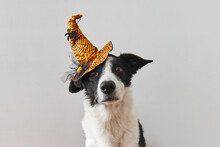 Mixed Breed Dog With Sad Eyes And Halloween Witch Hat.