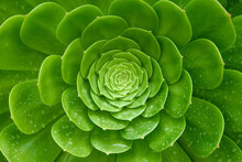 Close Up Succulents Plants Aeonium Arboreum With Water Drops