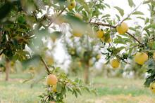 Tree Branch Full Of Golden Apples