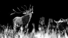 The Rutting Season, Fine Art Portrait Of Deer Male At Dawn (Cervus Elaphus)