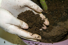 The Process Of Planting An Avocado In A Purple Pot. Gloved Hands Hold Fresh Earth