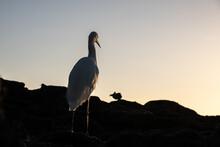 Great Egret In Florida