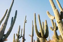 Towering Cactus