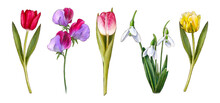 Watercolor Spring Flowers: Tulips, Galanthus, Sweet Peas. Vintage Flowers. Botanical Hand Drawn Illustration. Isolated Flowers On White Background.