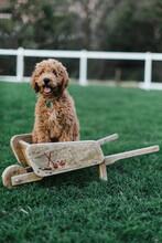 Puppy In Wooden Wheelbarrow