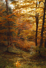 Golden Autumn In The Forest With Orange Leaves On Trees