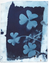 Cyanotype Of Clover Leaves