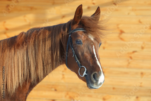 Dressage sportive horse with classic bridle walks in wooden stable Tapéta, Fotótapéta