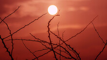 Dry Thorny Bushes Against The Backdrop Of A Red Sunset And The Sun. Dry Season