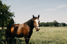 Brown Horse In A Field Behind Barbed Wire