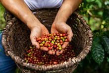 Two Hands Holding Organic Coffee Beans At Farm In Costa Rica