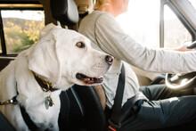 Dog Sitting In Backseat