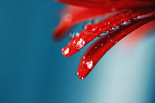 Red Daisy Flower Petals And Morning Dew Drops, Floral Background And Beauty In Nature Closeup