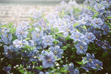 Wall Of Blue Clematis Flowers
