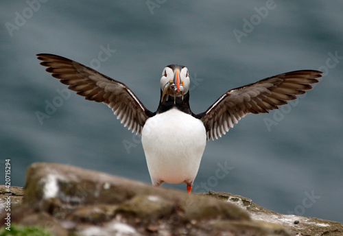 Foto Atlantic puffins at a colony on the Farne Islands in the North Sea