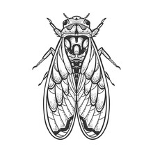 Cicadidae Cicada Insect Animal Sketch Engraving Vector Illustration. T-shirt Apparel Print Design. Scratch Board Imitation. Black And White Hand Drawn Image.