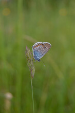 Tiny Blue Butterfly On A Plant In Nature