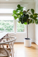 Large Fiddle Leaf Fig In Charming Dining Room