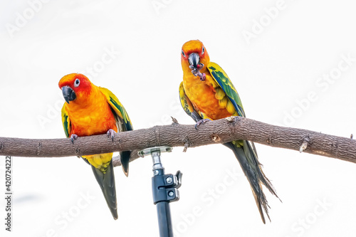 Fototapety, obrazy: Conures perched on a branch. Bird is a popular pet in Thailand.