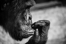 Chimpanzee Thinking, And Scratching His Upper Lip