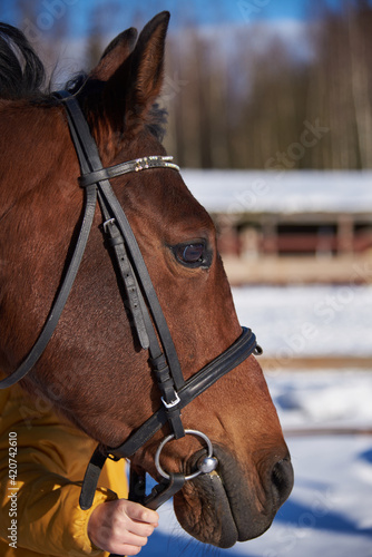 Portrait of a brown horse in a bridle on a sunny winter day. Tapéta, Fotótapéta