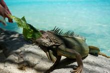 Green Iguana (Iguana Iguana) Eating Salad Leaves. Clear Blue Water