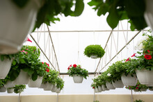 Petunia Bloom, Sales Season In Spring At Greenhouse