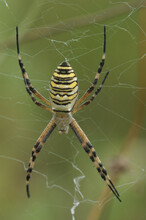 Closeup Shot Of The Wasp Spider, Argiope Bruennichi, In The Gard, France