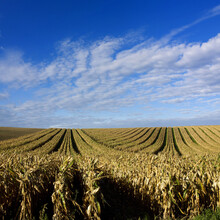 Mesmerizing Shot Of A Yellow Corn Field On The Cloudy Sky Background
