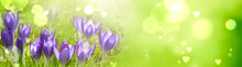 Spring Background With Purple Crocuses And Hearts - Hello Spring Concept