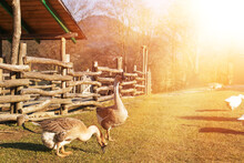Geese Grazing The Green Grass On Animal Farm.