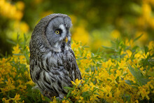 The Great Grey Owl Or Great Gray Owl (Strix Nebulosa) Is A Very Large Owl, Documented As The World's Largest Species Of Owl By Length. Sitting Quietly Among Yellow Blooming Bush. An Amazing Bird.