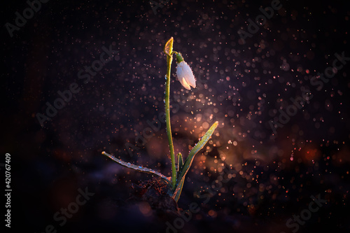 Fotografie, Tablou Fragile and beautiful snowdrop flower with backlight and water droplets falling