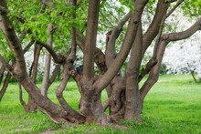 A Huge Spreading Tree With Many Trunks Intertwined
