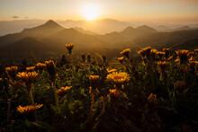 沈んでいく太陽に照らされた志賀高原を見下ろす高台に咲き並んだタンポポ