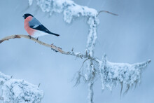 Bullfinch In A Tree With Snow