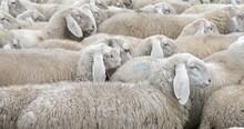 IMMUNITY Of Flock Or HERD Immunity Against Diseases And Viruses