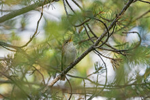 Arctic Warbler (Phylloscopus Borealis) Singing On A Branch Of A Pine Tree (Pinus Sylvestris) In Finnish Nature