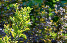 Euonymus Japonicus Aureo-Marginata With Variegated Green-yellow Leaves On Blurred Green Background. Elegant Background For Natural Design. Selective Soft Focus, Place For Text.