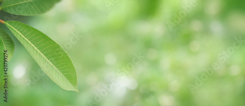 Fototapeta Panorama green leaves and refreshing atmosphere with sunlight. Blurred leaf background with natural bokeh light. Foliage of tropical tree in summer. Photo for cover graphic design or ecology content obraz